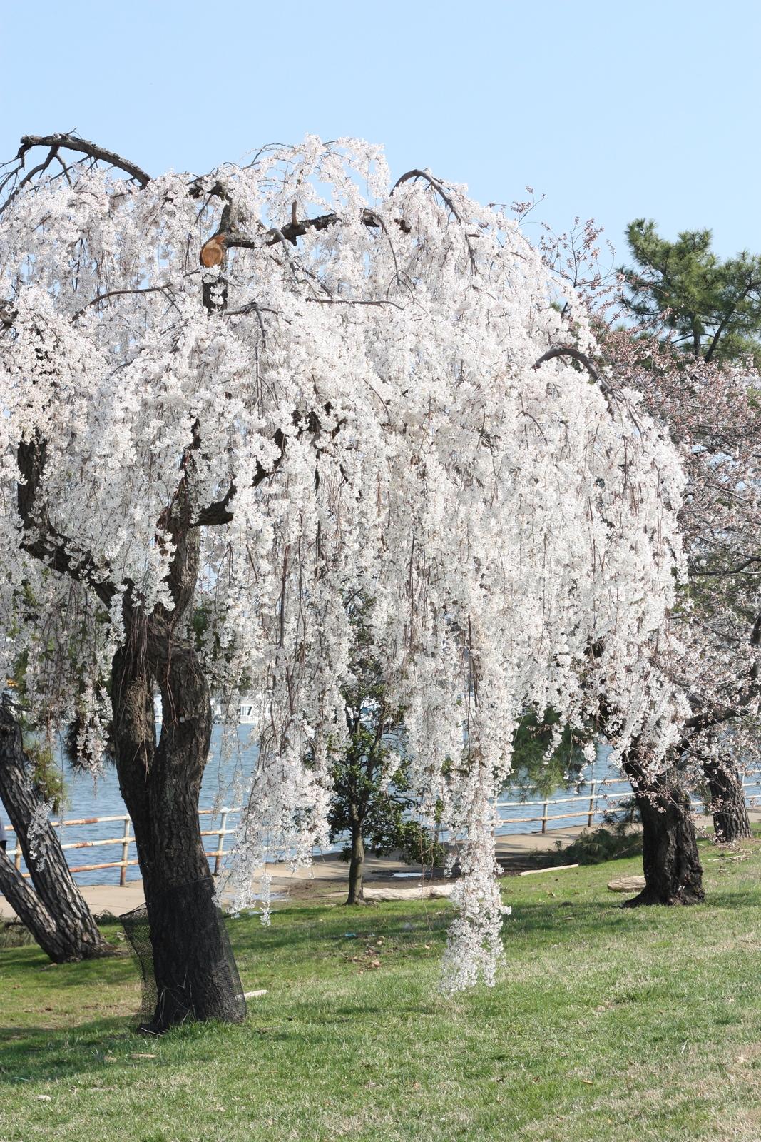 pagoda dogwood - Google Search | Gardening | Pinterest | Pagoda ...